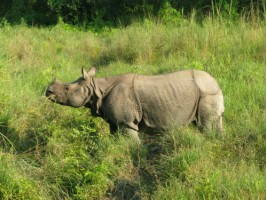 Asian Rhino at Chitwan on our elephant safari