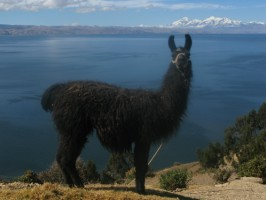 Lovely Llama (who spat at Grainne!) overlooking Lake Titicaca & the Andes behinf