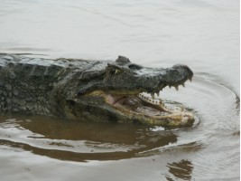 Hungry alligator!